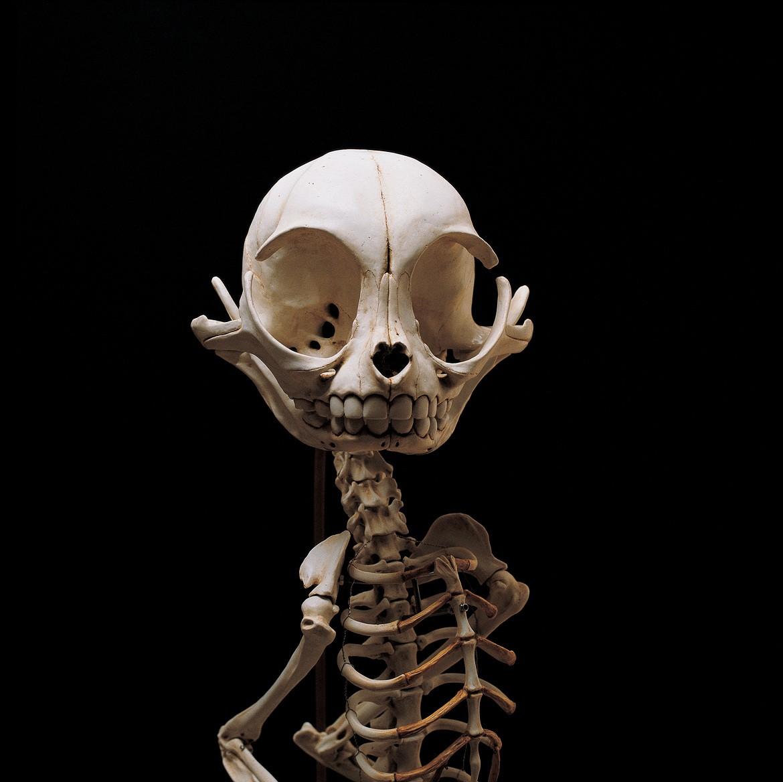 Esqueleto Gato Félix