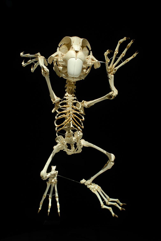 Esqueleto Pernalonga